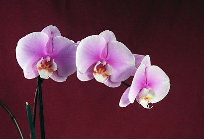 Fototapeta Beautiful Orchid 18533