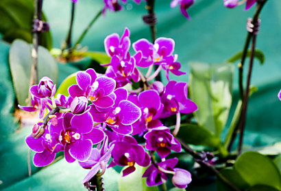 Fototapeta Purple orchid flowers 24286